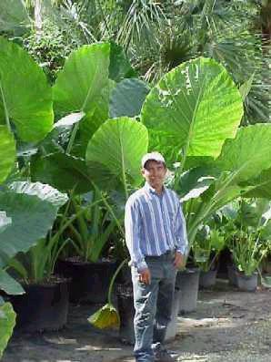 Alocasia X Calidora Exotica Tropicals Tropical Plants