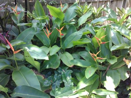 Heliconia Latispatha Distans Exotica Tropicals